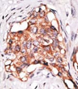 Immunohistochemistry (Formalin/PFA-fixed paraffin-embedded sections) - Anti-GDF3 antibody - Aminoterminal end (ab38547)