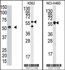 Western blot - Anti-Siglec 7 antibody (ab38574)