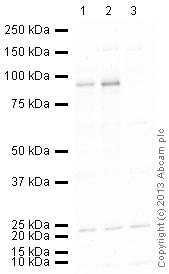 Western blot - Anti-PROX1 antibody (ab38692)