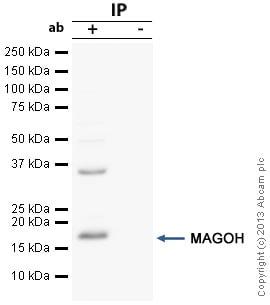Immunoprecipitation - Anti-MAGOH antibody (ab38768)