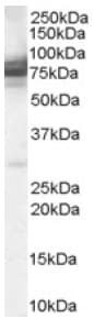 Western blot - Anti-CMG1 antibody (ab38789)