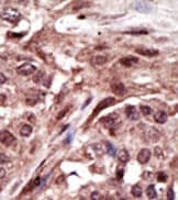 Immunohistochemistry (Formalin/PFA-fixed paraffin-embedded sections) - Anti-SL15 antibody (ab38856)
