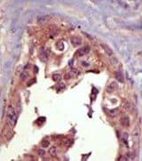 Immunohistochemistry (Formalin/PFA-fixed paraffin-embedded sections) - Anti-SMURF1 antibody (ab38866)