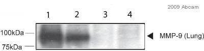 Western blot - Anti-MMP9 antibody (ab38898)