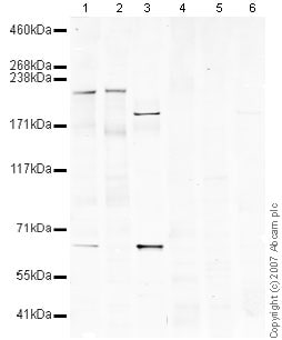 Western blot - Mouse Plexin A4 peptide (ab39349)
