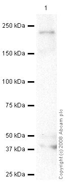 Western blot - Anti-Plexin A2 antibody (ab39357)