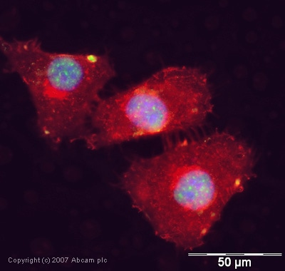 Immunocytochemistry/ Immunofluorescence - Anti-SAP155 antibody (ab39578)