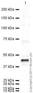 Western blot - Anti-Ihh antibody (ab39634)