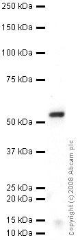 Western blot - Anti-G-protein coupled receptor 30 antibody (ab39742)