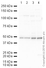 Western blot - Anti-Endothelin B Receptor antibody (ab39960)