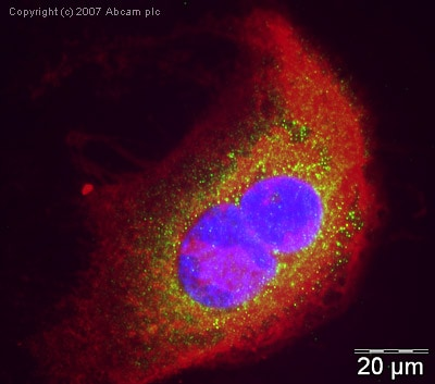 Immunocytochemistry/ Immunofluorescence - Anti-Endothelin B Receptor antibody (ab39960)