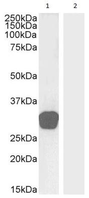 Western blot - Anti-GDF15 antibody (ab39999)