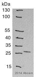 Western blot - Anti-CD8 antibody (ab4055)