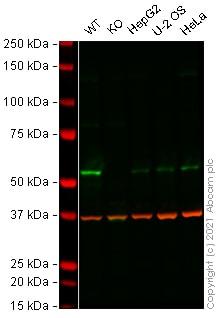 Western blot - Anti-E2F1 antibody [KH95] (ab4070)