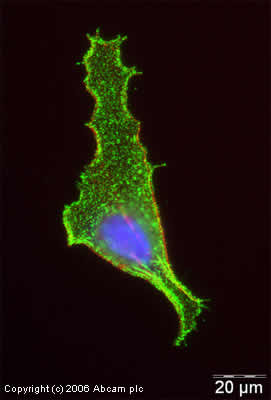 Immunocytochemistry/ Immunofluorescence - Anti-alpha Tubulin antibody - Loading Control (ab4074)