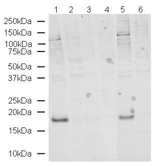 Western blot - Anti-Histone H3 (phospho T32) antibody (ab4076)