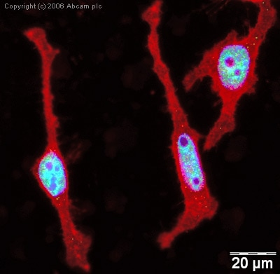 Immunocytochemistry/ Immunofluorescence - Anti-Histone H1.2 antibody - ChIP Grade (ab4086)