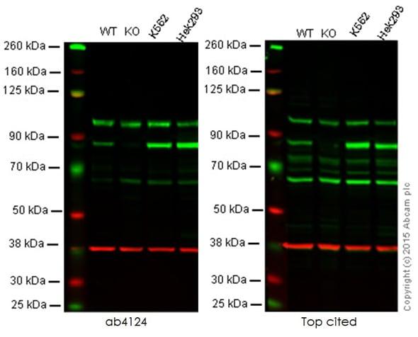 Western blot - Anti-PKC alpha antibody (ab4124)