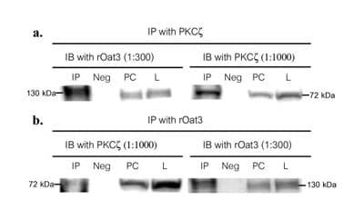 Western blot - Anti-PKC zeta antibody (ab4137)