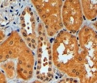 Immunohistochemistry (Formalin/PFA-fixed paraffin-embedded sections) - Anti-TRIM11 antibody (ab4153)