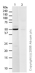 Western blot - Anti-mH2A2 antibody (ab4173)