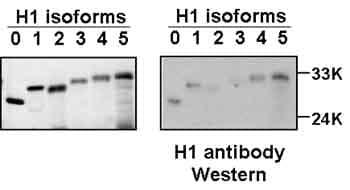 Western blot - Anti-Histone H1 antibody [AE4] (ab4269)