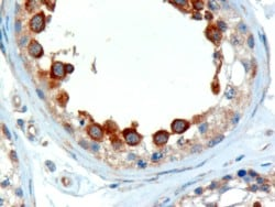 Immunohistochemistry (Formalin/PFA-fixed paraffin-embedded sections) - Anti-ALMS1 antibody (ab4306)