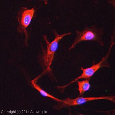 Immunocytochemistry/ Immunofluorescence - Anti-Pericentrin antibody - Centrosome Marker (ab4448)