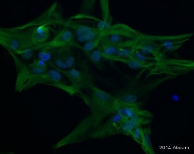 Immunocytochemistry/ Immunofluorescence - Anti-GFAP antibody (ab4674)