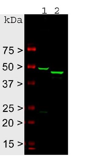 Western blot - Anti-GFAP antibody (ab4674)