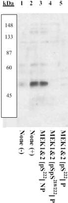 Western blot - Anti-MEK1 + MEK2 (phospho S222) antibody (ab4750)