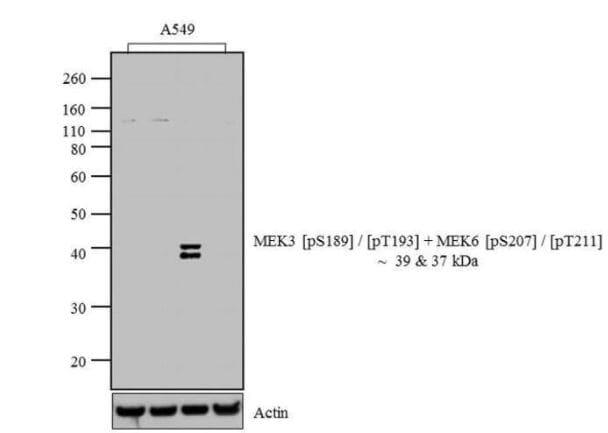 Western blot - Anti-MEK3 (phospho S189/T193) + MEK6 (phospho S207/T211) antibody (ab4759)