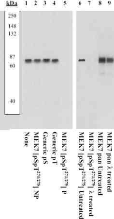 Western blot - Anti-MEK7 (phospho S271 + T275) antibody (ab4762)