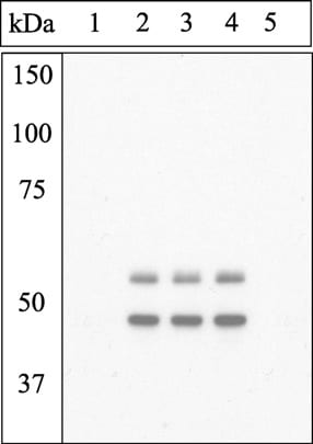 Western blot - Anti-GSK3 (alpha + beta) (phospho Y216 + Y279) antibody (ab4797)