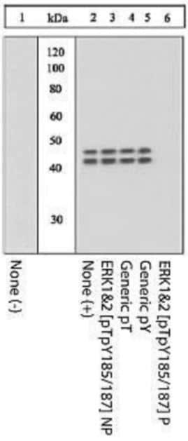 Western blot - Anti-Erk1 (pT202/pY204) + Erk2 (pT185/pY187) antibody (ab4819)