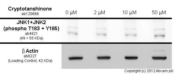 Western blot - Anti-JNK1+JNK2 (phospho T183 + Y185) antibody (ab4821)