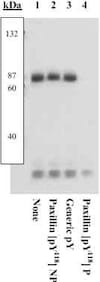 Western blot - Anti-Paxillin (phospho Y118) antibody (ab4833)
