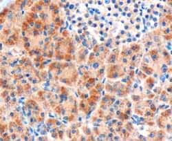 Immunohistochemistry (Formalin/PFA-fixed paraffin-embedded sections) - Anti-Frizzled 8 antibody (ab40012)