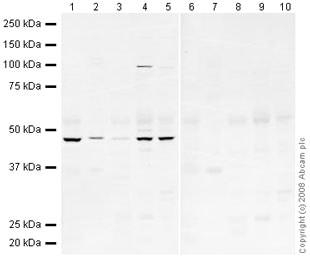 Western blot - Human BMP4 peptide (ab40140)