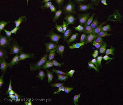 Immunocytochemistry/ Immunofluorescence - Anti-IGF1 antibody (ab40657)
