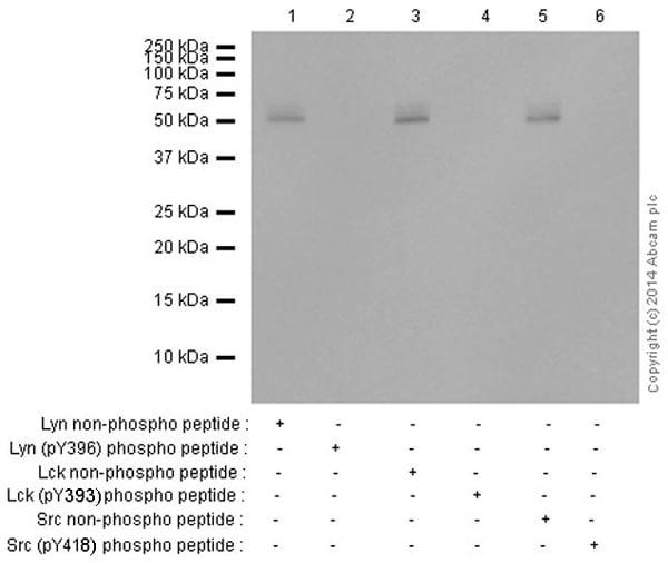 Western blot - Anti-SRC Family (phospho Y418) antibody [EP503Y] (ab40660)