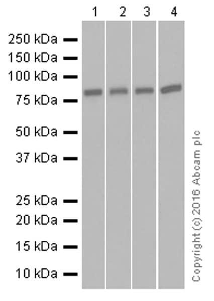 Western blot - Anti-NAK/TBK1 antibody [EP611Y] (ab40676)