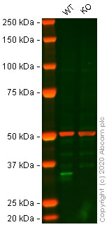 Western blot - Anti-Cyclin D1 antibody [EP272Y] (ab40754)