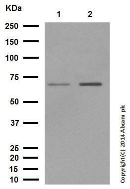 Western blot - Anti-Smad4 antibody [EP618Y] (ab40759)