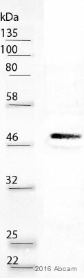 Western blot - Anti-CEBP Alpha/CEBPA antibody [EP709Y] (ab40764)