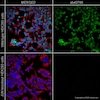 Immunocytochemistry - Anti-c-Jun antibody [EP693Y] (ab40766)
