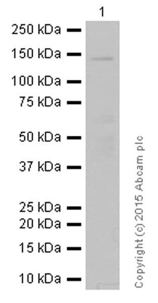 Western blot - Anti-Raptor antibody [EP539Y] (ab40768)