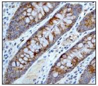 Immunohistochemistry (Formalin/PFA-fixed paraffin-embedded sections) - Anti-Raptor antibody [EP539Y] (ab40768)