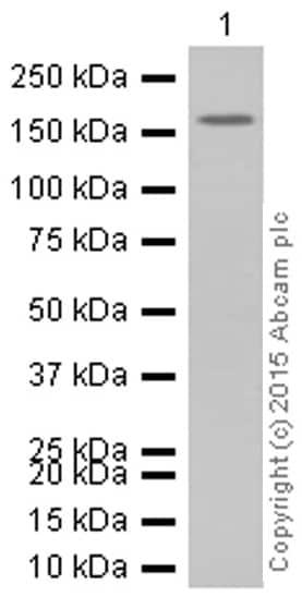 Western blot - Anti-IRS1 antibody [EP263Y] (ab40777)