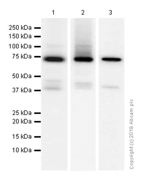 Western blot - Anti-Syk antibody [EP573Y] (ab40781)